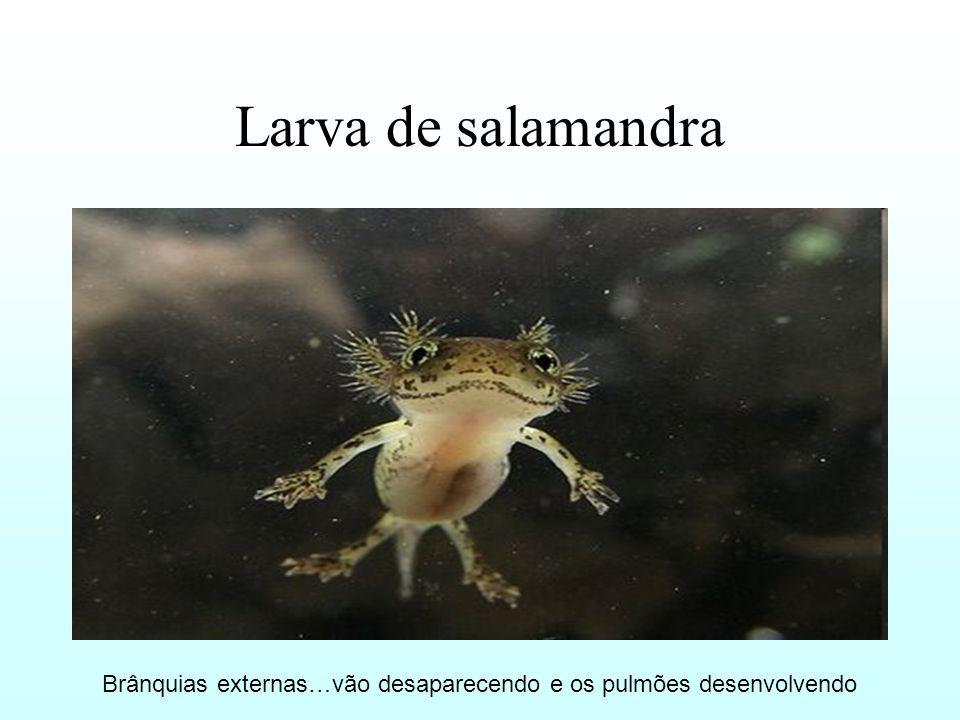 Larva de salamandra Brânquias externas…vão desaparecendo e os pulmões desenvolvendo