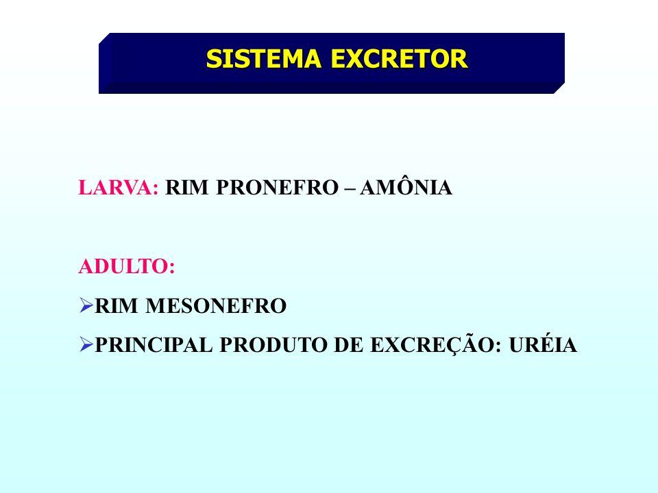 SISTEMA EXCRETOR LARVA: RIM PRONEFRO – AMÔNIA ADULTO: RIM MESONEFRO PRINCIPAL PRODUTO DE EXCREÇÃO: URÉIA