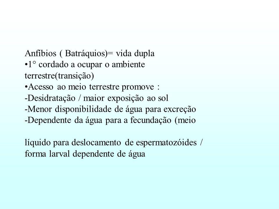 Anfíbios ( Batráquios)= vida dupla 1° cordado a ocupar o ambiente terrestre(transição) Acesso ao meio terrestre promove : -Desidratação / maior exposição ao sol -Menor disponibilidade de água para excreção -Dependente da água para a fecundação (meio líquido para deslocamento de espermatozóides / forma larval dependente de água