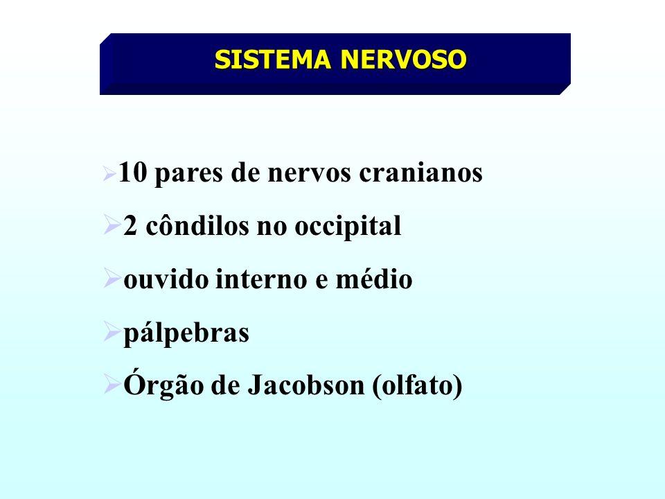 SISTEMA NERVOSO 10 pares de nervos cranianos 2 côndilos no occipital ouvido interno e médio pálpebras Órgão de Jacobson (olfato)
