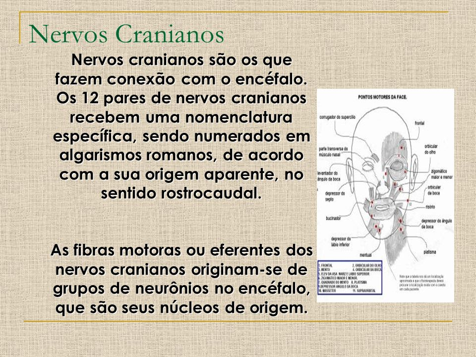 Nervos Cranianos Nervos cranianos são os que fazem conexão com o encéfalo. Os 12 pares de nervos cranianos recebem uma nomenclatura específica, sendo