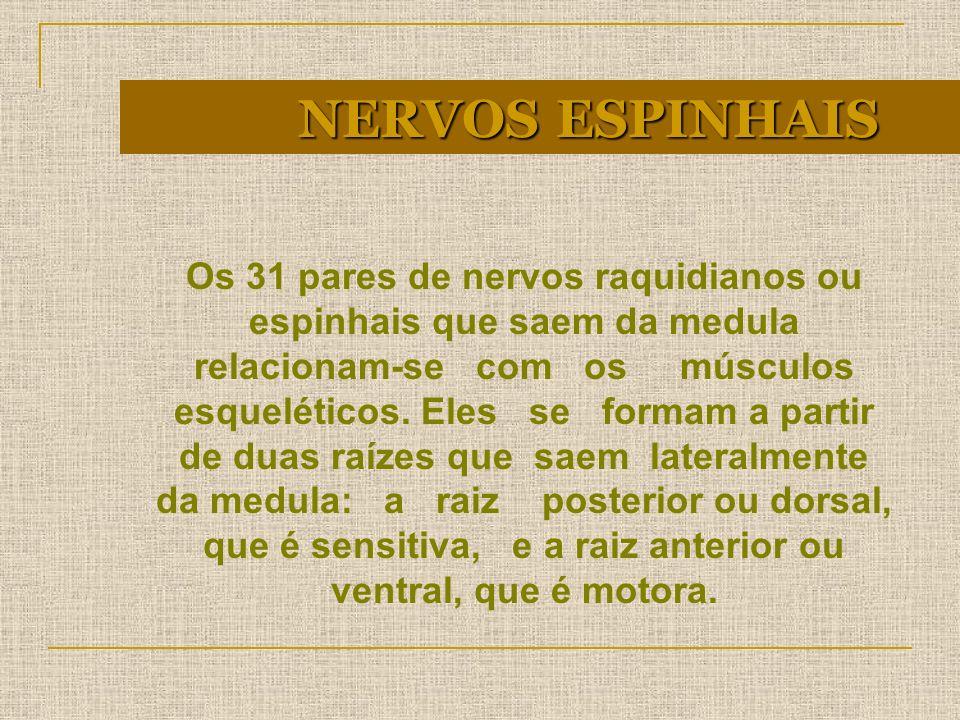 Os 31 pares de nervos raquidianos ou espinhais que saem da medula relacionam-se com os músculos esqueléticos. Eles se formam a partir de duas raízes q