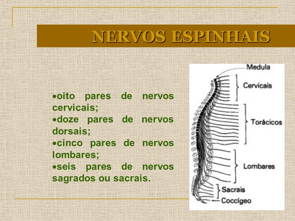 oito pares de nervos cervicais; doze pares de nervos dorsais; cinco pares de nervos lombares; seis pares de nervos sagrados ou sacrais. NERVOS ESPINHA