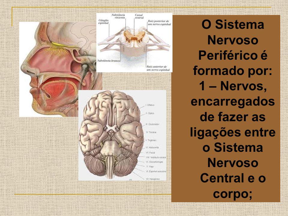 O Sistema Nervoso Periférico é formado por: 1 – Nervos, encarregados de fazer as ligações entre o Sistema Nervoso Central e o corpo;