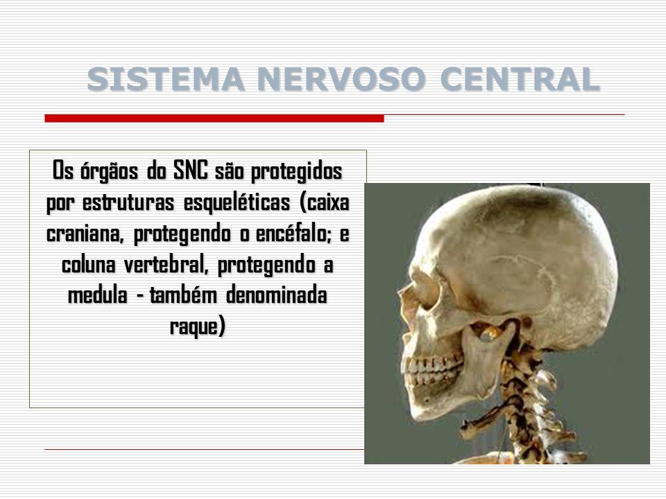Os órgãos do SNC são protegidos por estruturas esqueléticas (caixa craniana, protegendo o encéfalo; e coluna vertebral, protegendo a medula - também denominada raque) SISTEMA NERVOSO CENTRAL