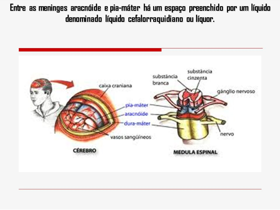 Entre as meninges aracnóide e pia-máter há um espaço preenchido por um líquido denominado líquido cefalorraquidiano ou líquor.