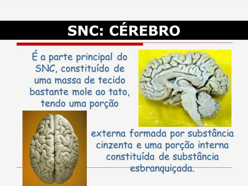 SNC: CÉREBRO É a parte principal do SNC, constituído de uma massa de tecido bastante mole ao tato, tendo uma porção externa formada por substância cinzenta e uma porção interna constituída de substância esbranquiçada.
