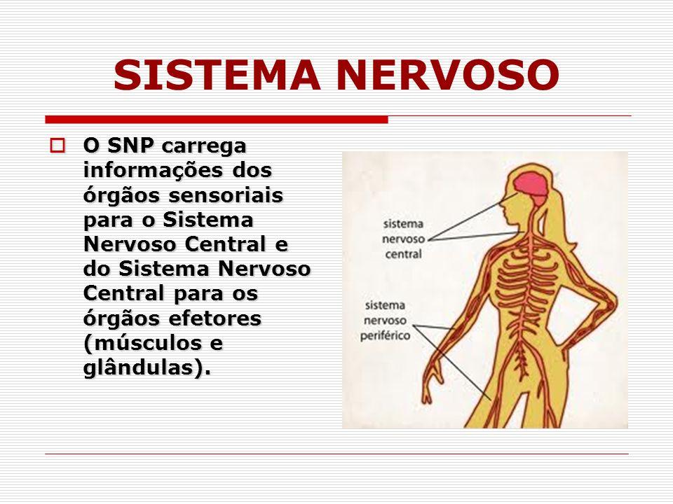 O SNP carrega informações dos órgãos sensoriais para o Sistema Nervoso Central e do Sistema Nervoso Central para os órgãos efetores (músculos e glândulas).