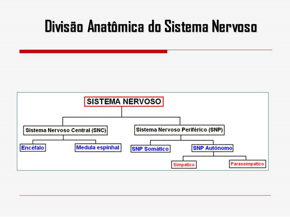 O SNC divide-se em encéfalo e medula.