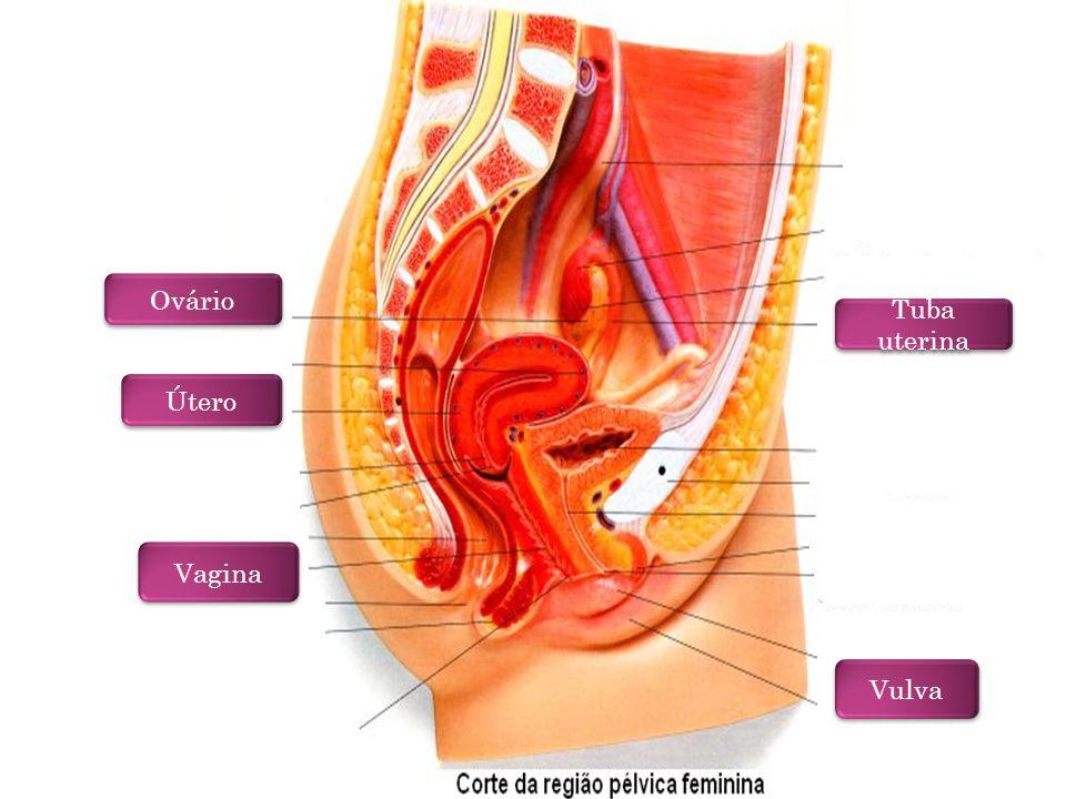 V ULVA ( G ENITÁLIA E XTERNA ) Delimitada e protegida por duas pregas cutâneo-mucosas intensamente irrigadas e inervadas - os grandes lábios recobertos por pêlos pubianos na mulher reprodutivamente madura.