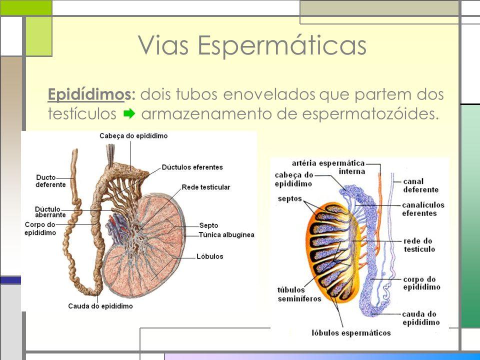 Vias Espermáticas Epidídimos: dois tubos enovelados que partem dos testículos armazenamento de espermatozóides.