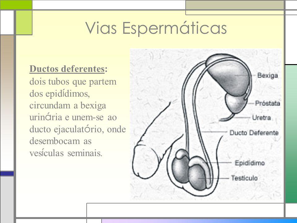 Vias Espermáticas Ductos deferentes: dois tubos que partem dos epid í dimos, circundam a bexiga urin á ria e unem-se ao ducto ejaculat ó rio, onde des