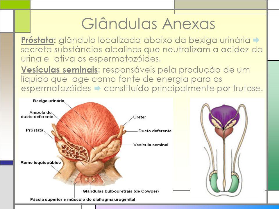 Glândulas Anexas Próstata: glândula localizada abaixo da bexiga urinária secreta substâncias alcalinas que neutralizam a acidez da urina e ativa os es