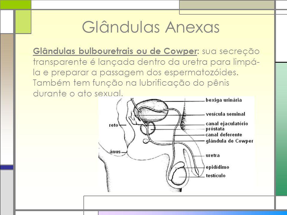Glândulas Anexas Glândulas bulbouretrais ou de Cowper: sua secreção transparente é lançada dentro da uretra para limpá- la e preparar a passagem dos e