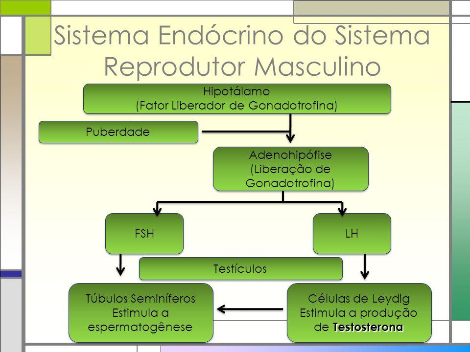 Sistema Endócrino do Sistema Reprodutor Masculino Hipotálamo (Fator Liberador de Gonadotrofina) Hipotálamo (Fator Liberador de Gonadotrofina) Puberdad