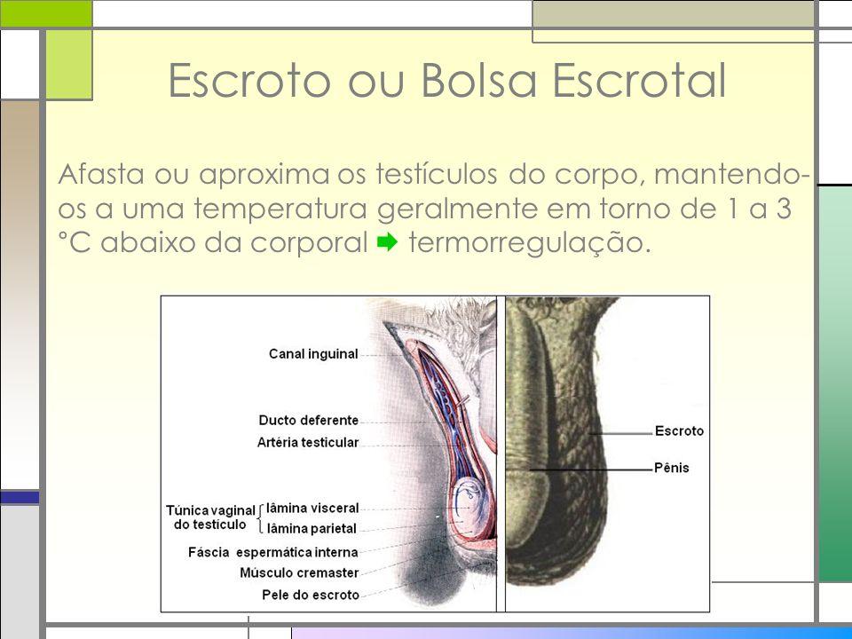Escroto ou Bolsa Escrotal Afasta ou aproxima os testículos do corpo, mantendo- os a uma temperatura geralmente em torno de 1 a 3 °C abaixo da corporal