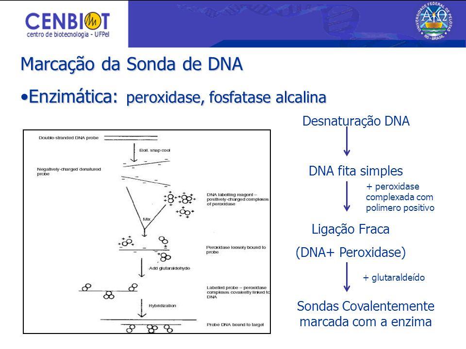Marcação da Sonda de DNA Enzimática: peroxidase, fosfatase alcalinaEnzimática: peroxidase, fosfatase alcalina Desnaturação DNA DNA fita simples Ligação Fraca (DNA+ Peroxidase) Sondas Covalentemente marcada com a enzima + peroxidase complexada com polimero positivo + glutaraldeído