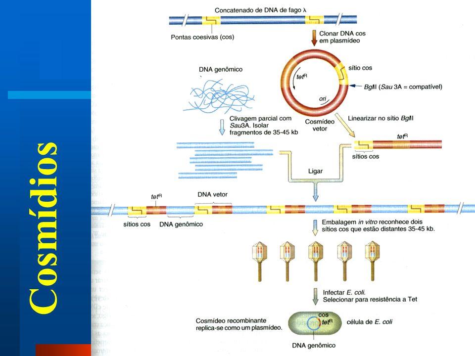 Sonda: seqüência de DNA marcada Transferência de DNA do gel para a membrana Southern Blot