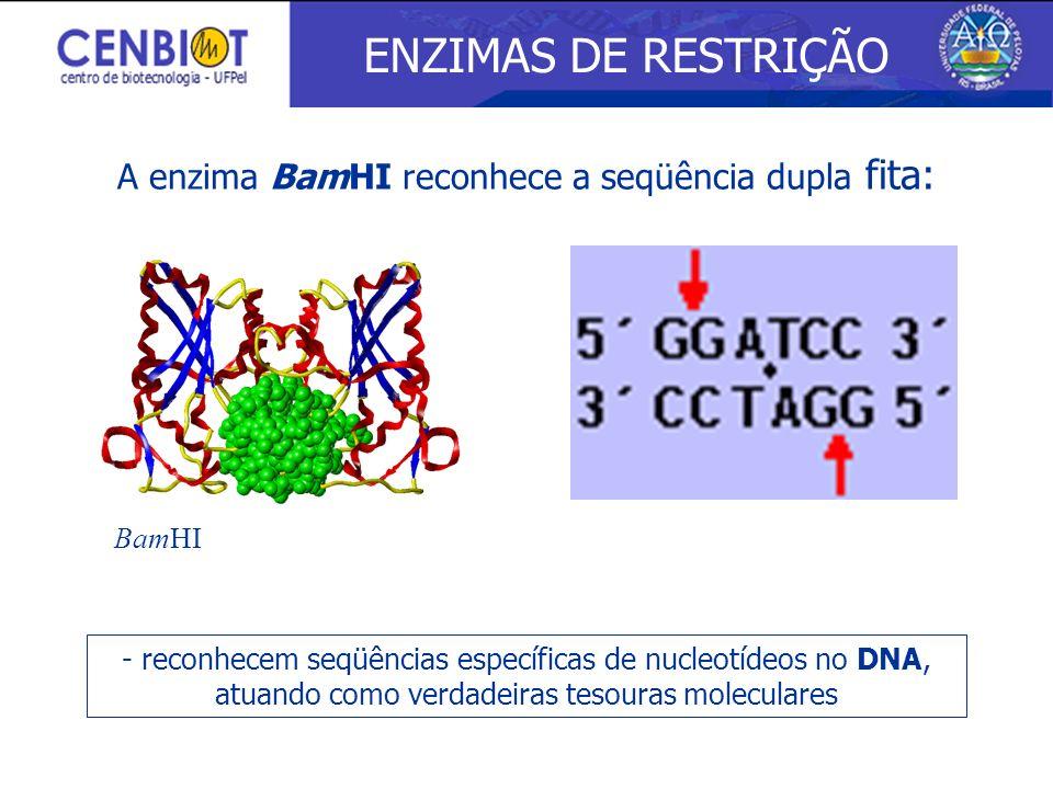A enzima BamHI reconhece a seqüência dupla fita: ENZIMAS DE RESTRIÇÃO - reconhecem seqüências específicas de nucleotídeos no DNA, atuando como verdade