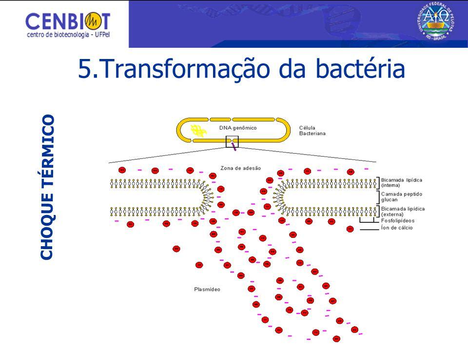 CHOQUE TÉRMICO 5.Transformação da bactéria