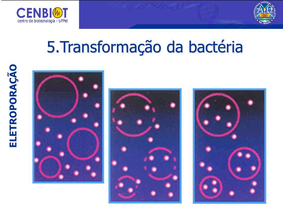 5.Transformação da bactéria ELETROPORAÇÃO