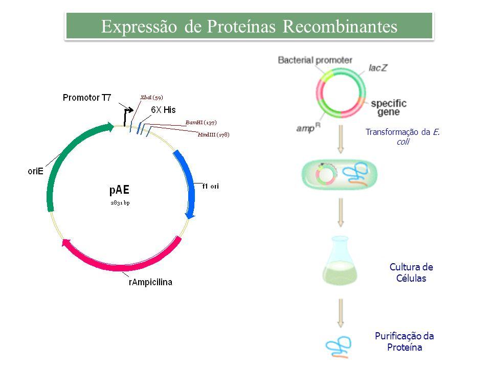 Expressão de Proteínas Recombinantes Purificação da Proteína Cultura de Células Transformação da E. coli