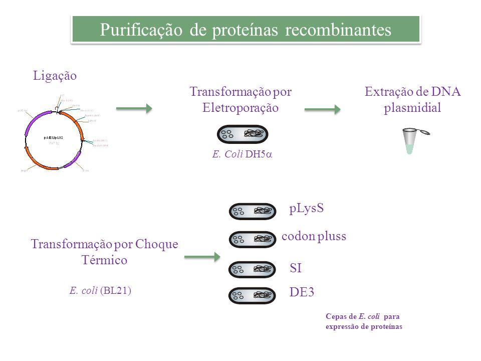 Purificação de proteínas recombinantes Ligação Transformação por Eletroporação E. Coli DH5 Extração de DNA plasmidial pLysS codon pluss SI DE3 Transfo