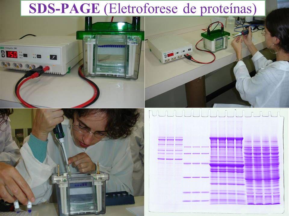 SDS-PAGE SDS-PAGE (Eletroforese de proteínas)