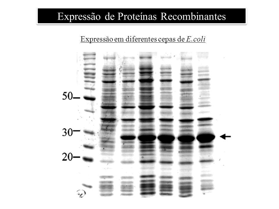 Expressão em diferentes cepas de E.coli Expressão de Proteínas Recombinantes