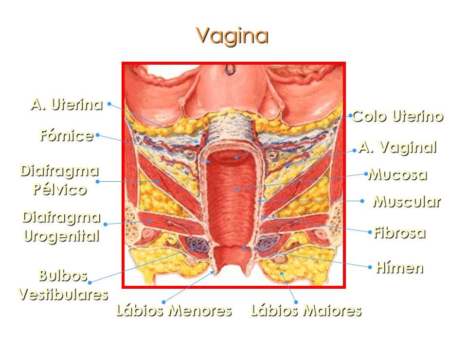 Colo Uterino Mucosa Muscular Fibrosa Fórnice Hímen Diafragma Pélvico Diafragma Urogenital A. Vaginal A. Uterina Lábios Menores Lábios Maiores Bulbos V