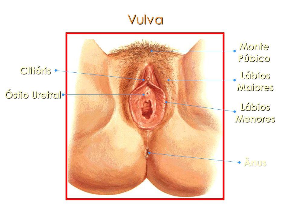 Monte Púbico Lábios Maiores Lábios Menores Ânus Clitóris Óstio Uretral Vulva