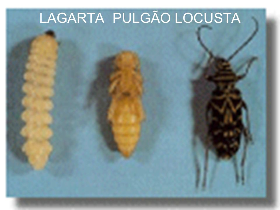 LAGARTA PULGÃO LOCUSTA