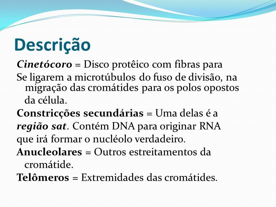 Descrição Cinetócoro = Disco protêico com fibras para Se ligarem a microtúbulos do fuso de divisão, na migração das cromátides para os polos opostos d