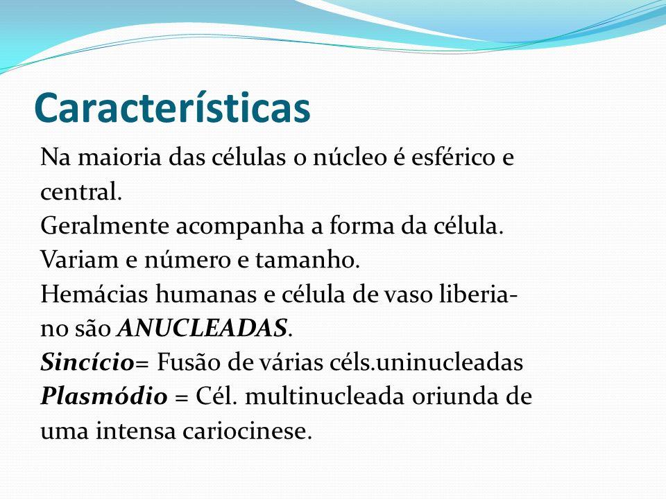 Características Na maioria das células o núcleo é esférico e central. Geralmente acompanha a forma da célula. Variam e número e tamanho. Hemácias huma