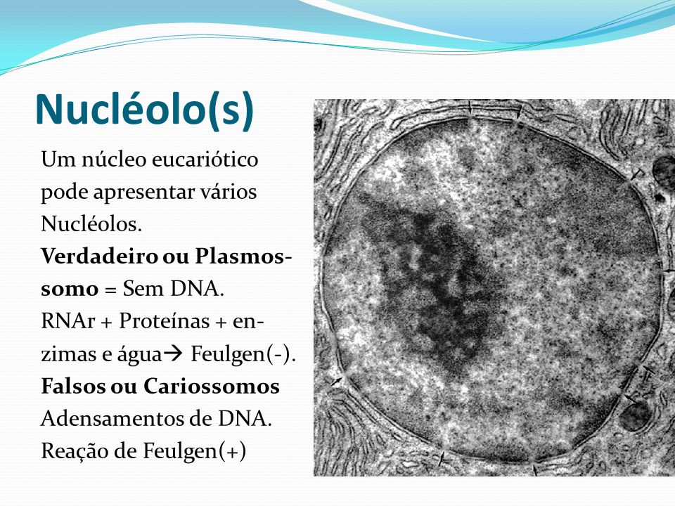 Nucléolo(s) Um núcleo eucariótico pode apresentar vários Nucléolos. Verdadeiro ou Plasmos- somo = Sem DNA. RNAr + Proteínas + en- zimas e água Feulgen