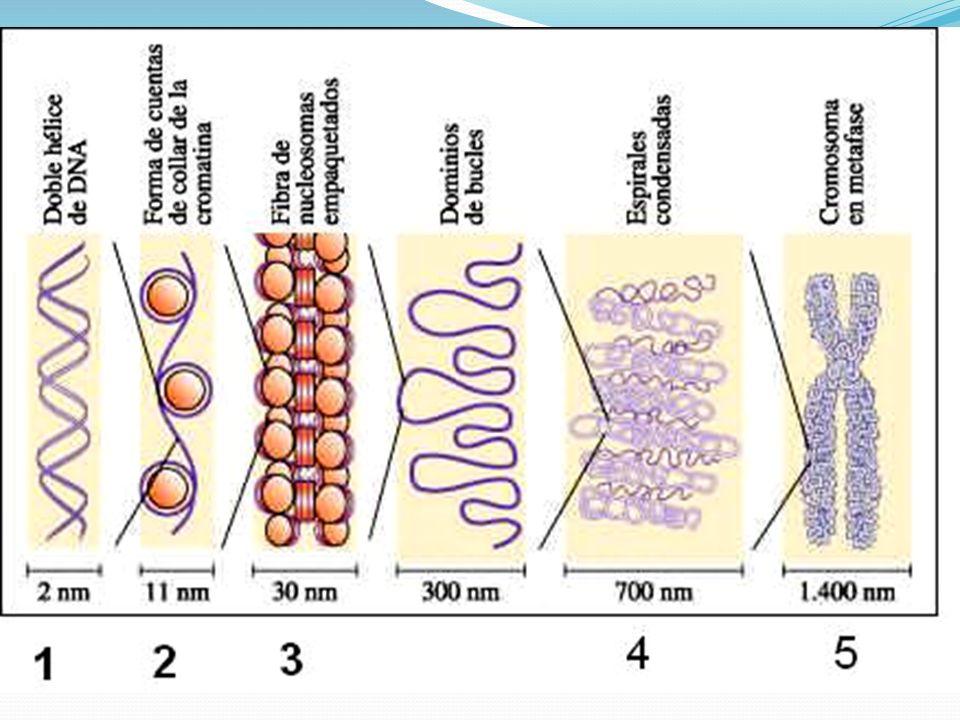 Cariolinfa ou Carioplasma Colóide semelhante ao hialoplasma que mantém suspensas os nucléolos e a cromatina durante a intérfase.