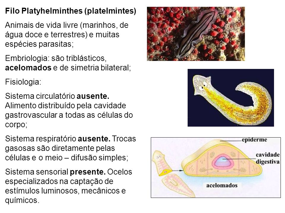 Filo Platyhelminthes (platelmintes) Animais de vida livre (marinhos, de água doce e terrestres) e muitas espécies parasitas; Embriologia: são triblást