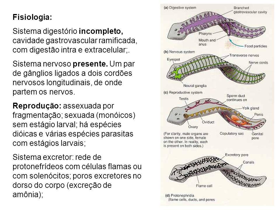 Fisiologia: Sistema digestório incompleto, cavidade gastrovascular ramificada, com digestão intra e extracelular;. Sistema nervoso presente. Um par de
