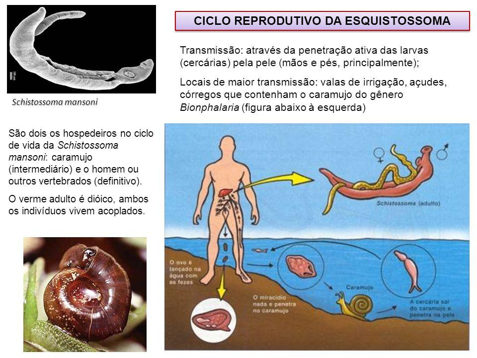 Schistossoma mansoni CICLO REPRODUTIVO DA ESQUISTOSSOMA Transmissão: através da penetração ativa das larvas (cercárias) pela pele (mãos e pés, princip