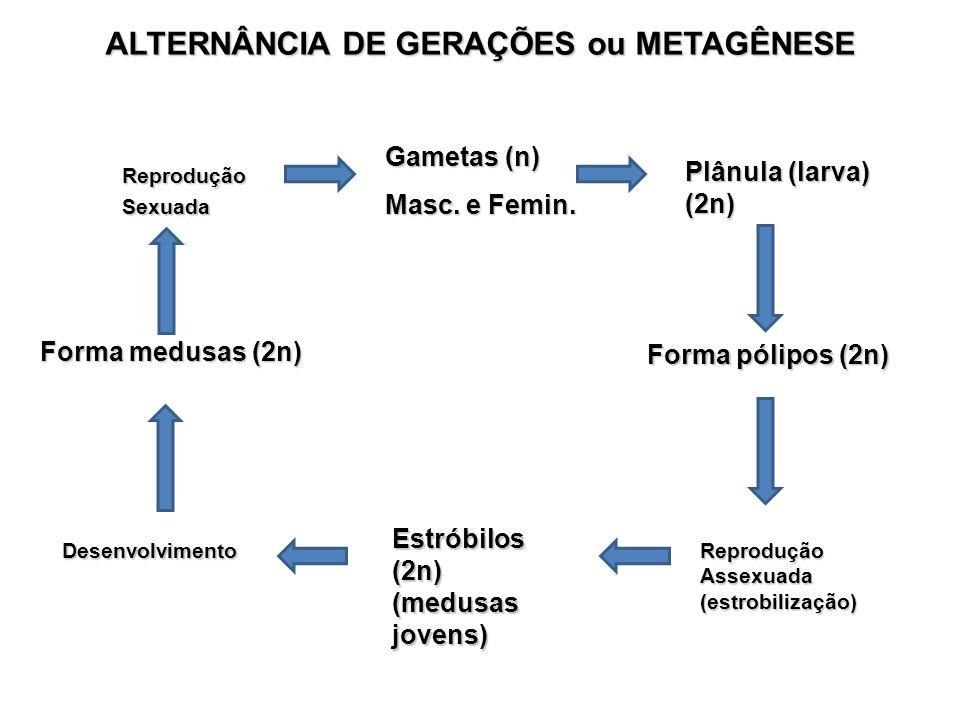 Forma medusas (2n) Forma pólipos (2n) Reprodução Assexuada (estrobilização) Reprodução Sexuada Estróbilos (2n) (medusas jovens) Gametas (n) Masc. e Fe