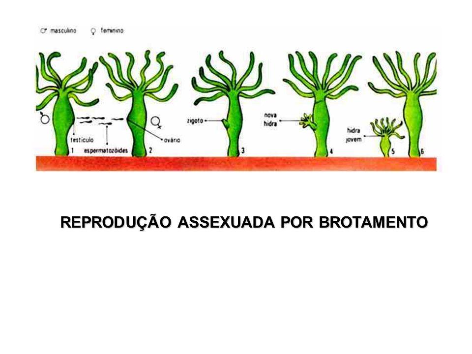 REPRODUÇÃO ASSEXUADA POR BROTAMENTO