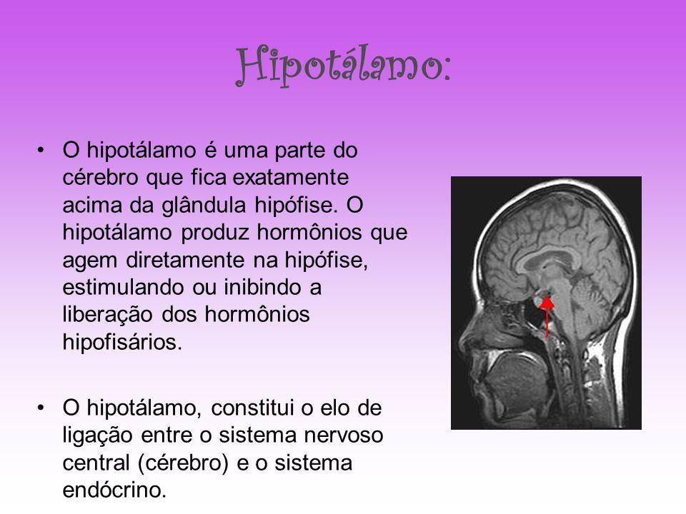 Hipotálamo: O hipotálamo é uma parte do cérebro que fica exatamente acima da glândula hipófise. O hipotálamo produz hormônios que agem diretamente na