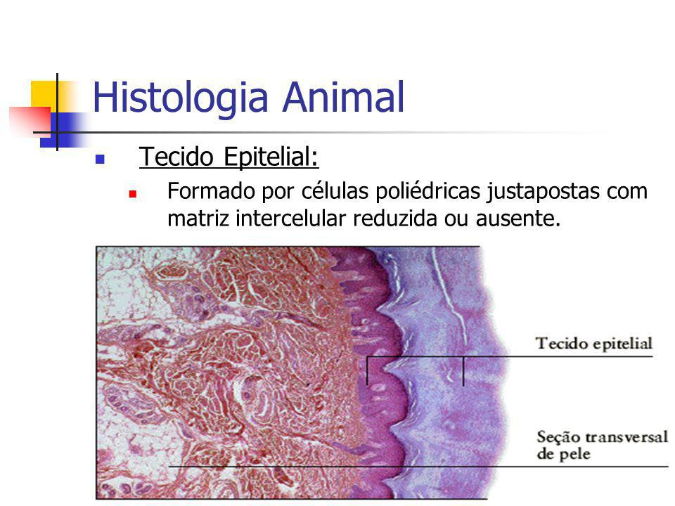 Foto à Esquerda: Tecido Muscular Liso.Foto à Direita: Tecido Muscular Cardíaco.