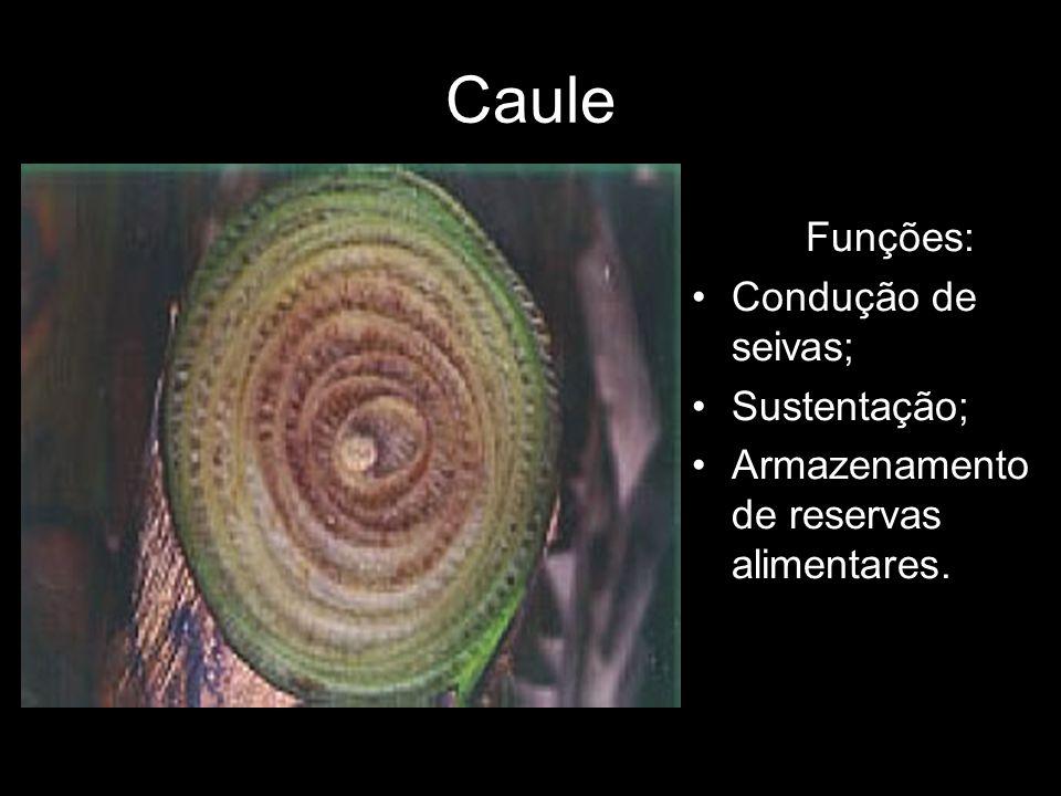 Caule Funções: Condução de seivas; Sustentação; Armazenamento de reservas alimentares.