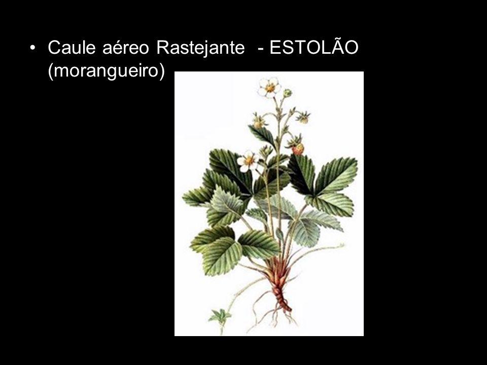 Caule aéreo Rastejante - ESTOLÃO (morangueiro)