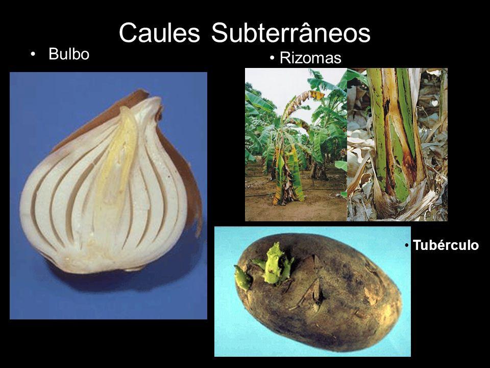 Caules Subterrâneos Bulbo Rizomas Tubérculo