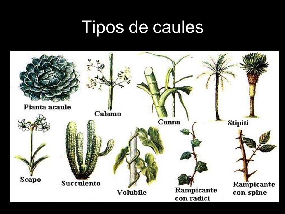 Tipos de caules