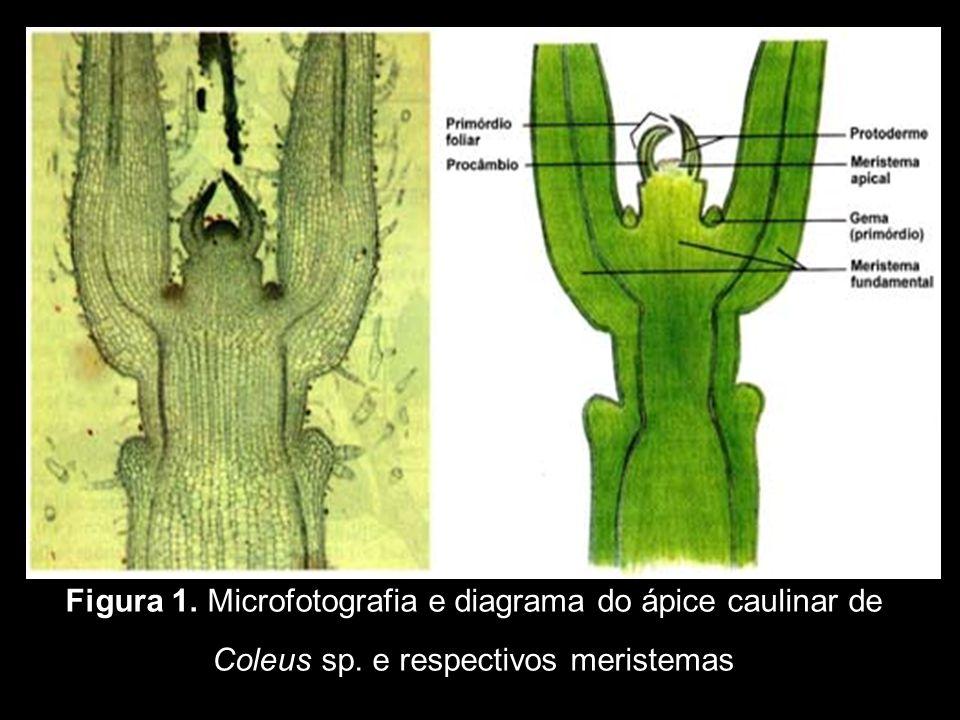 Figura 1. Microfotografia e diagrama do ápice caulinar de Coleus sp. e respectivos meristemas