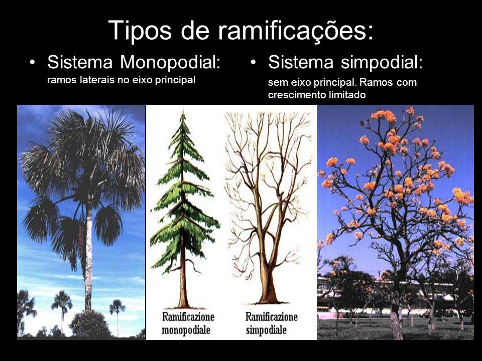 Tipos de ramificações: Sistema Monopodial: ramos laterais no eixo principal Sistema simpodial: sem eixo principal. Ramos com crescimento limitado