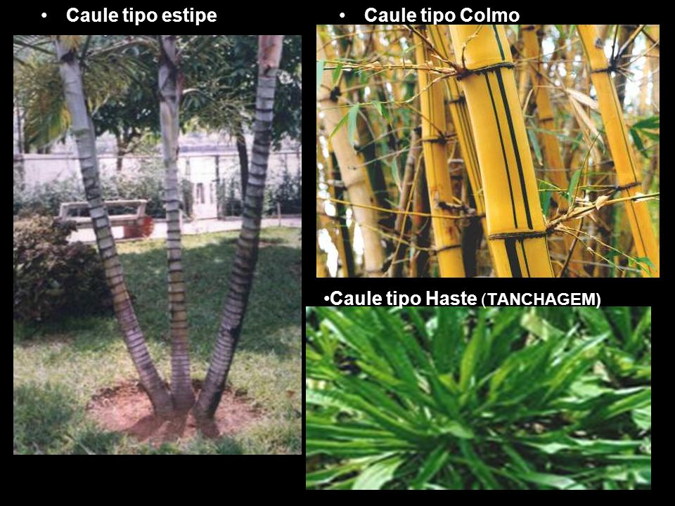 Caule tipo estipeCaule tipo Colmo Caule tipo Haste (TANCHAGEM)